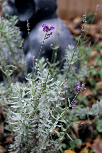 Gratuitous lavender photo. Every time I think it's done blooming, it puts out another blossom or two.