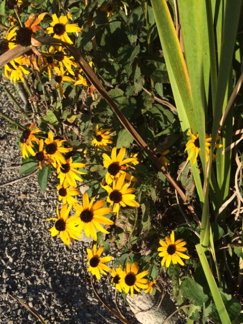 Rudbeckia growing around the perimeter of the labyrinth.